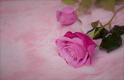 ピンク紫色の薔薇2_0.jpg