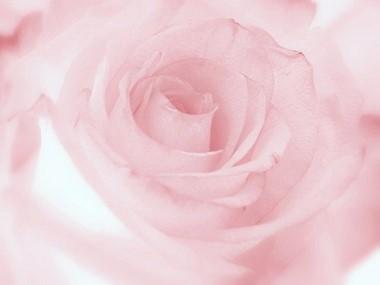 淡いピンク色 バラ.jpg